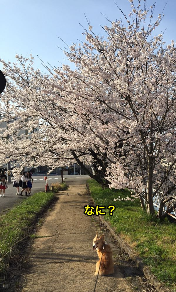 しめじと北日本放送付近の桜