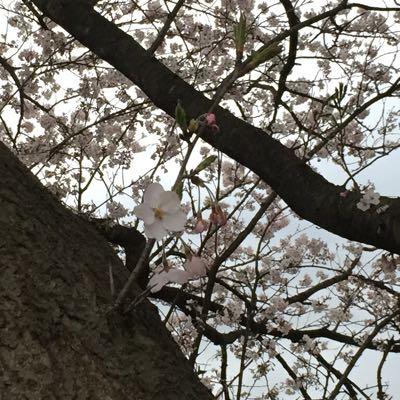 しめじと桜