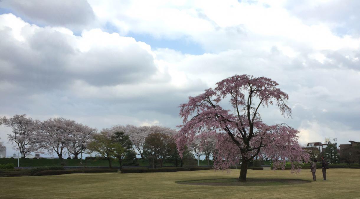 水墨美術館の一本桜
