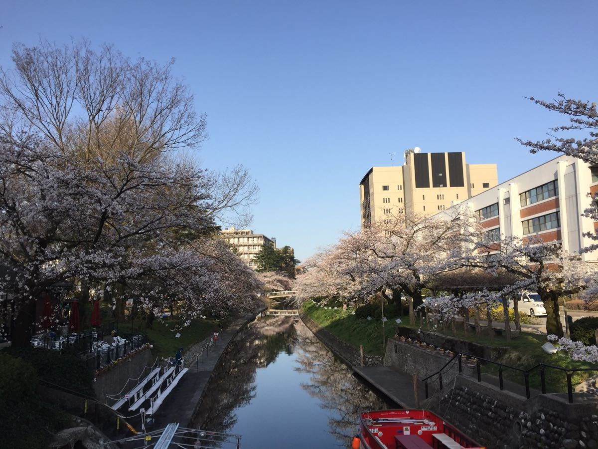 富山 松川べり 桜