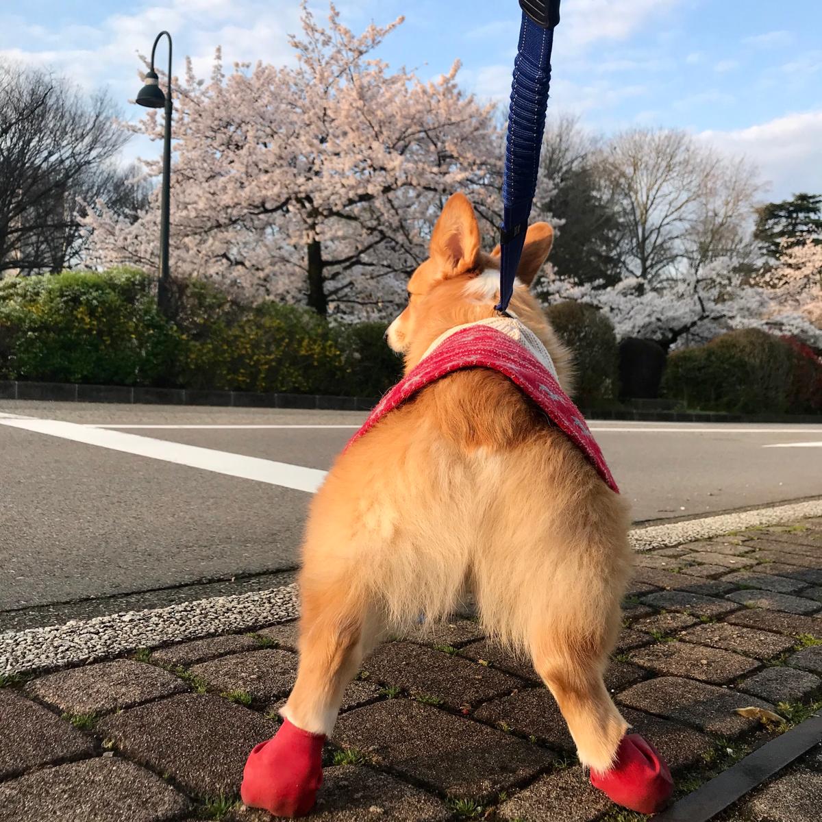 コーギのしめじと早朝の松川ベリ桜並木